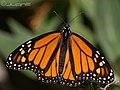 Mariposa Monarca (Danaus plexippus) (3235138122).jpg