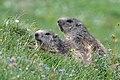 Marmotta (10).jpg