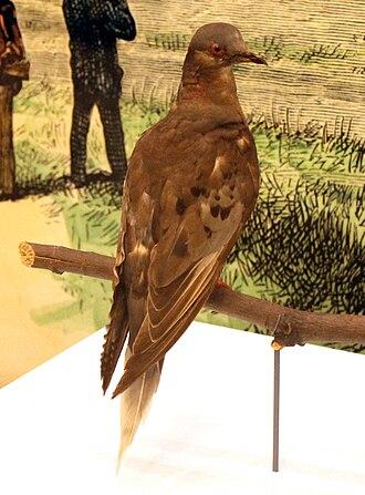 Martha (passenger pigeon) - Martha in 2015