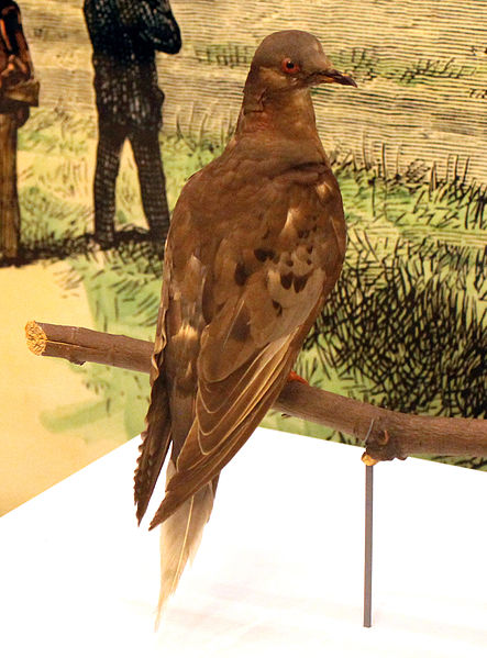 File:Martha, the last Passenger Pigeon. Natural History Museum, June, 2015. Digital photo, cropped and brightened.jpg