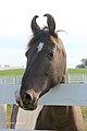 Marwari Filly at the Kentucky Horse park (7998150435).jpg