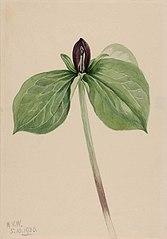 Wake-Robin (Trillium sessile)