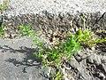 Matricaria discoidea plant (05).jpg