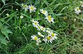 Mayweed-20050828-023.jpg