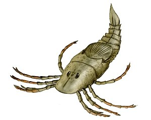 "Eurypterid - Megarachne, a eurypterid closely related to Hibbertopterus from the Late Carboniferous. It was originally described as a spider - the largest to have ever existed - hence its scientific name, which translates to ""great/large spider""."