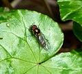 Melanostoma auricollis (33564152292).jpg
