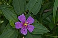 Melastoma malabathricum-Kadavoor-2016-06-15-001.jpg