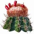 Melocactus lemairei The Cactaceae.jpg