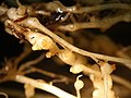 Meloidogyne incognita on Solanum lycopersicum.jpg
