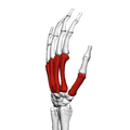 Metacarpal bones (left hand) 04 radial view.png