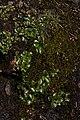 Micranthes rufidula 2125.JPG