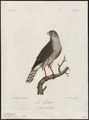 Micronisus gabar - 1796-1808 - Print - Iconographia Zoologica - Special Collections University of Amsterdam - UBA01 IZ18300147.tif