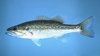 Spotted bass species of fish