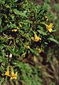 Mimulus aurantiacus 1.jpg
