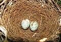 Mimus polyglottos eggs 02.JPG