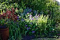 Mixed border in a cottage garden at Boreham, Essex, England 03.jpg