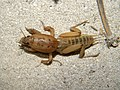 Mole Cricket (3856961719).jpg