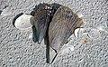 Mollusc shells on marine beach (Cayo Costa Island, Florida, USA) 21 (26085037822).jpg