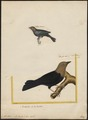 Molothrus ater - 1700-1880 - Print - Iconographia Zoologica - Special Collections University of Amsterdam - UBA01 IZ15800293.tif