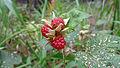 Molucca Bramble fruit (15930826540).jpg