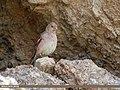 Mongolian Finch (Bucanetes mongolicus) (32340874168).jpg