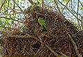 Monk Parakeets (Myiopsitta monachus) on nest ... (31413425020).jpg