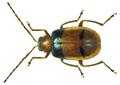 Monolepta vincta Gerstaecker, 1871.png