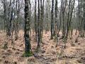 Moorbirkenwald Emsland.jpg
