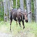 Moose Kincaid Park, Anchorage, Alaska (20121088539).jpg