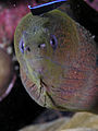 Moray cleaner wrasse komodo.jpg