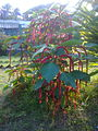 Morog Flower,Bipinpark, Mymensingh.jpg