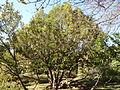 Morris Arboretum Taxus baccata.JPG