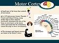 Motor Cortex (1).jpg