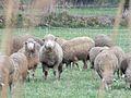 Moutons Mérinos d'Arles 3.jpg
