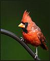Mr Cardinal (5035447915).jpg