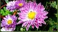 Mum flower (8726230820).jpg