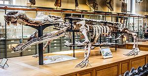 Sarcosuchus - S. imperator, Muséum national d'histoire naturelle, Paris