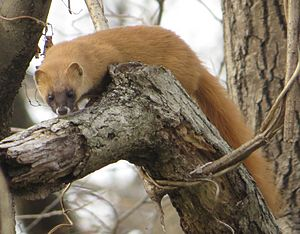 Japanese weasel - Image: Mustela itatsi on tree