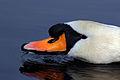 Mute swan (Cygnus olor) head feeding.jpg