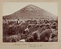 Mutton-bird-egging-chappell-island-1893-377736-medium.jpg