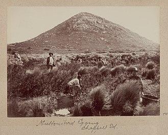 Muttonbirding - Mutton-bird Egging on Mount Chappell Island (1893)