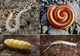 Myriapod collage.png