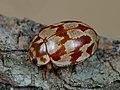 Myrrha octodecimguttata 91026261.jpg