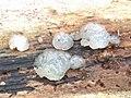 Myxarium nucleatum 106476176.jpg