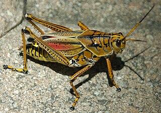 http://upload.wikimedia.org/wikipedia/commons/thumb/e/e7/NLN_Eastern_Lubber_Grasshopper.jpg/320px-NLN_Eastern_Lubber_Grasshopper.jpg