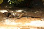 Nashornleguan (Cyclura cornuta) (30145916940).jpg