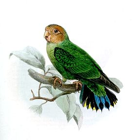 Дятловые попугайчики — Википедия