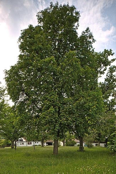 File:Naturdenkmal Linden am Sedanplatz, Kennung 82350290001, Gechingen-Bergwald 05.jpg