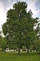 Naturdenkmal Linden am Sedanplatz, Kennung 82350290001, Gechingen-Bergwald 05.jpg