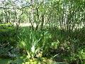 Naturschutzgebiet Tävsmoor Kreis Pinneberg (Schleswig-Holstein) 08.JPG